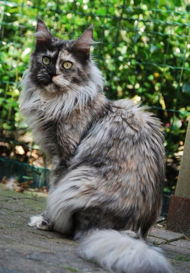 Maine Coon, Black Torti Smoke & White (fs 09). Leaena Shining Star