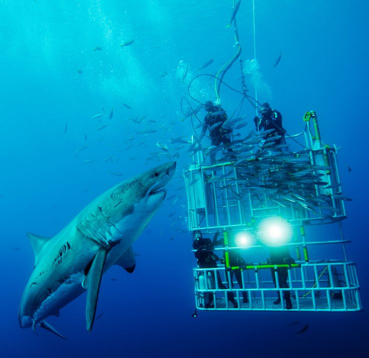 CONFRONTING: Cage divers confront a great white shark on the Isla de Guadalupe. (Photo and caption by David Litchfield