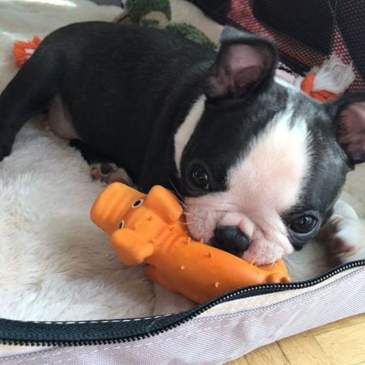いいね!23件、コメント1件 ― Boston Terrierさん(@bostonterrworld)のInstagramアカウント: 「Just a dog eating a pig,..nothing to see here.. @alinaaka . . . . . #bostonterrier #bostonterriers…」