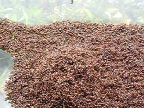 Ants flooded out of their nest - Mississippi River