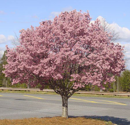 Okame Cherry Trees for Sale | Fast Growing Trees