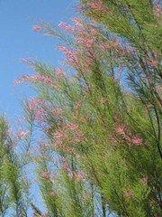 Tamarix ramosissima 'Pink Cascade' - Plant Finder
