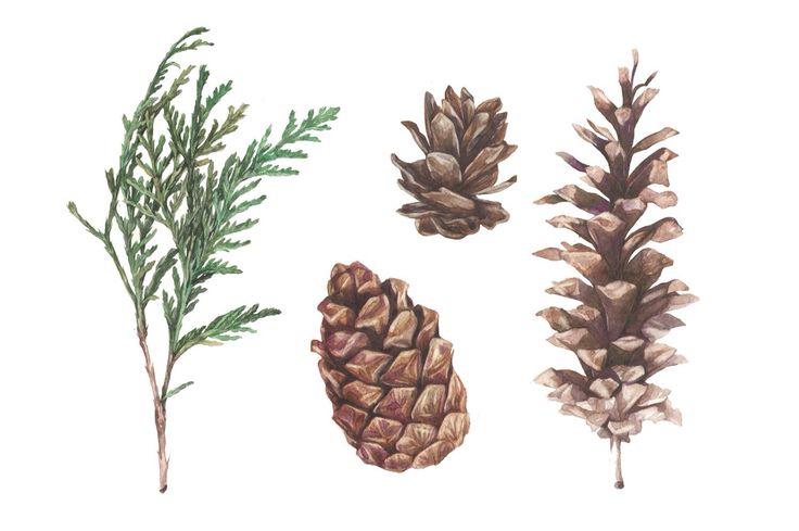 Cones and thuja Watercolor