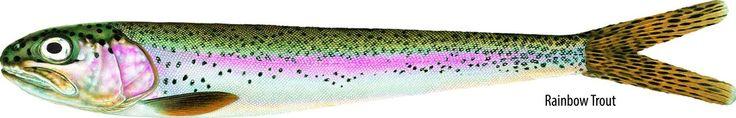 Image of Nextgen Baits Rainbow Trout