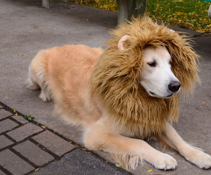 lion dog costume - Dogs With Halloween Costumes On