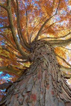 Twin Cypress