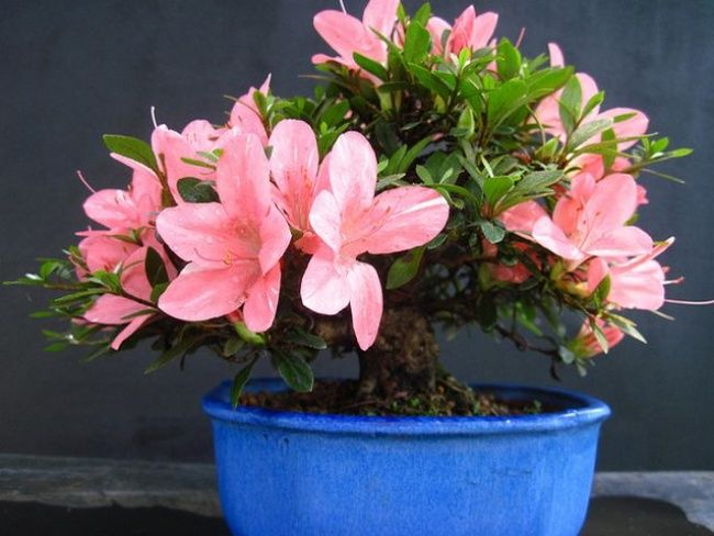 Azaleas are renowned not only for their tender beauty. Put one in your kitchen to help filter out formaldehyde and benzene from detergents and plywood furniture.