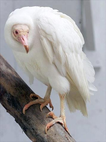 Un Buitre Negro (Aegypius monachus) albino, vulture