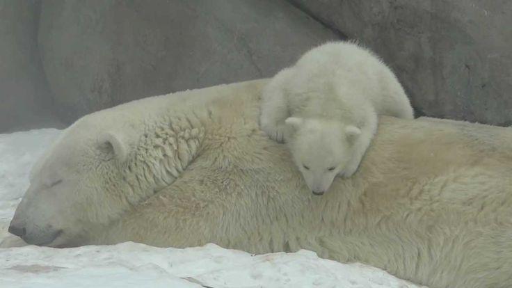 Белые медвежата в Московском зоопарке / Polar bear cubs in Moscow zoo #cute #funny #baby #animals