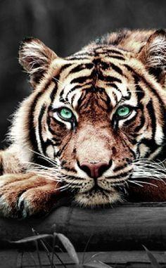 tiger. Those eyes!