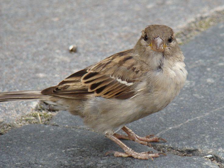 sparrow photos | File:House Sparrow-Mindaugas Urbonas-4.jpg - Wikimedia Commons