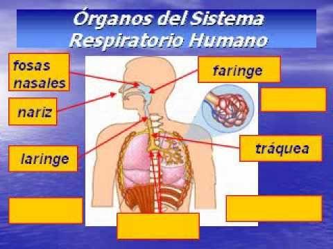 EL SISTEMA RESPIRATORIO DEL SER HUMANO mpg Sistema