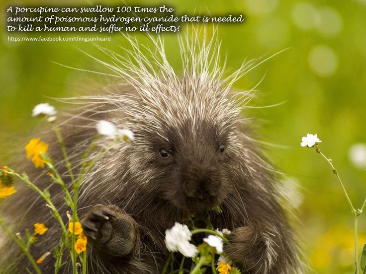 A porcupine can swallow 100 times the amount of poisonous hydrogen cyanide that is needed to kill a human and suffer no ill effects!