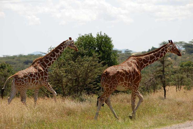 Giraffe Facts & Photos | Giraffe. Giraffe facts. Animals