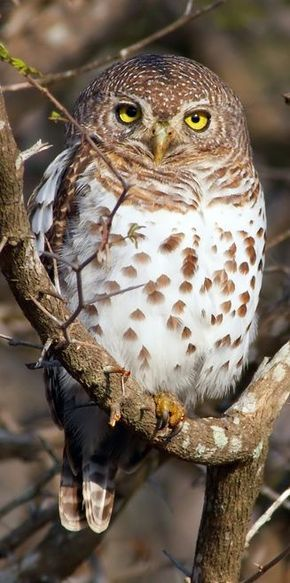 African Barred Owls live in Zimbabwe & Botswana. They prefer open woodland w sparse undergrowth & a stream or river nearby. Due to its small size, it eats mainly invertebrates but can also eat mice, small birds & reptiles. It nests in natural tree hollows.