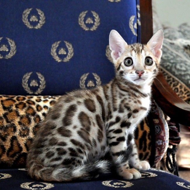 Stunning Rosetted Bengal Boy Kitten TICA Reg. (AVAILABLE) | Bengal CaHighway 76 Fallbrook California 92028ts Bengals Illustrated Directory