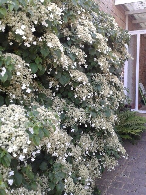 Hydrangea petiolaris - I have never seen so many flowers on it and it smells lovely as you come to our front door