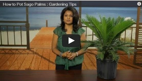 Video: Sago Palm Potting Tips