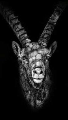 Claudio Gotsch, Marmor, 2014 / 2016 © www.lumas.de/ #Lumas, dunkel, Fauna, Fotografie, Geweih, monochrom, Natur, Portrait, Schwarz-Weiß, schwarzweiß, Steinbock, Tier, Tiere