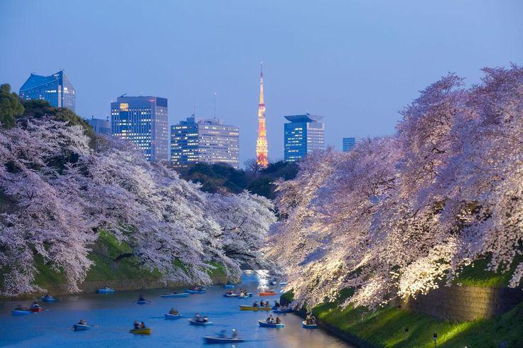 Hier wird das japanische Kirschblütenfest gefeiert