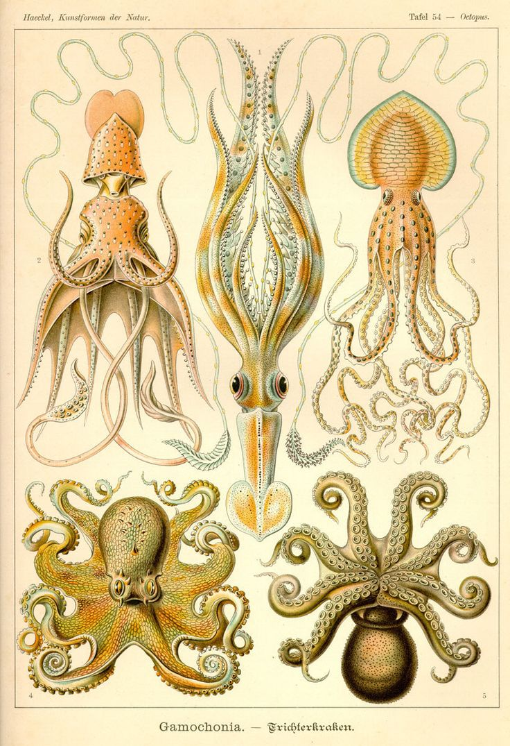 These ostentatious cephalopods: | 13 Times Ernst Haeckel Was The Greatest Scientific Illustrator Ever