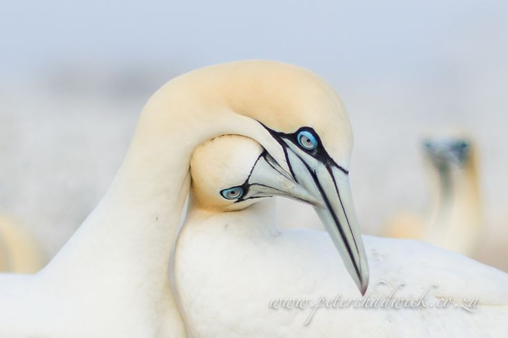 A Cape Gannet pair wrap necks as part of pair bonding at Malgas Island in the West Coast National Park, South Africa