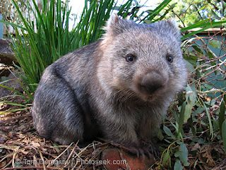 wombat! I LOVE wombats! Such a unique animal!!! Sweet too!