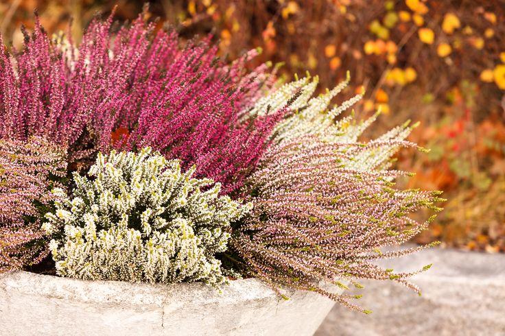 Jesień w kolorach fioletu - czas na wrzos | Inspirowani Naturą | heather, autumn, fall