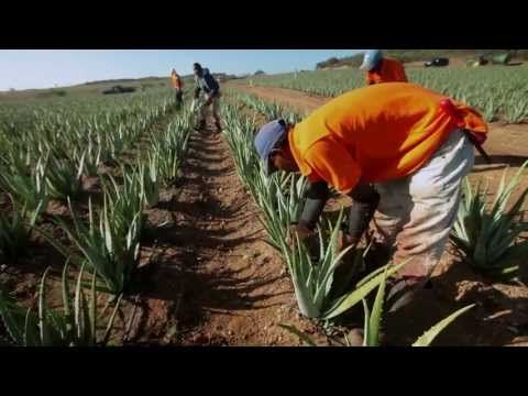 Plantations Tour - Explore Forever Living's Aloe Plantations in Texas, US and Dominican Republic.