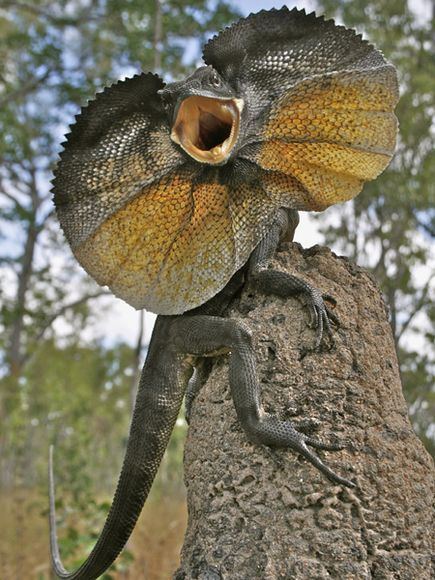 A frilled lizard in its defense posture during a 2010 field trip to Cape York, Australia.   Straight out of Jurassic Park!