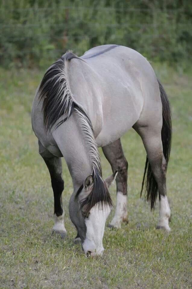 A beautiful gruilla a black horse with the dun gene for Beautiful horses