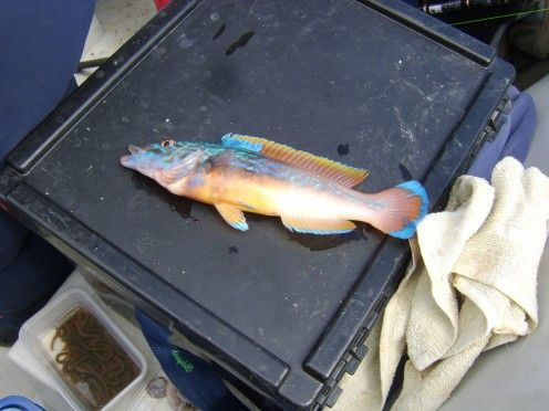 A beautiful cuckoo wrasse caught above a wreck on the Irish Sea. Surely this must rate among the most beautiful fish found in British coastal waters?