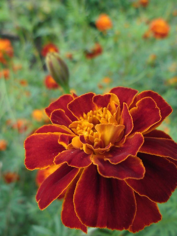 lovely marigold