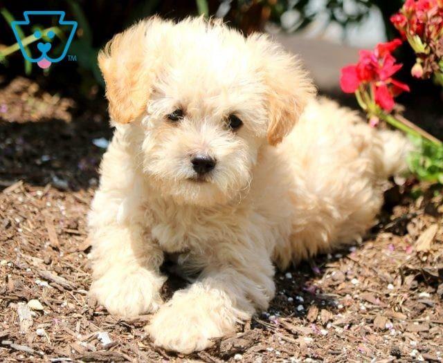 Katrina Schnoodle Puppy For Sale Keystone Puppies Schnoodle Puppy Schnoodle Puppies For Sale Schnoodle