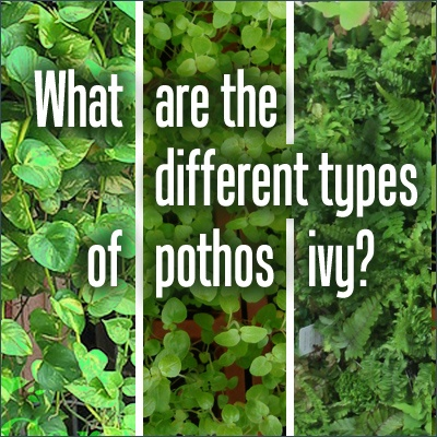 15 best ideas about types of ivy on pinterest ivy poison ivy leaves and poison sumac tree. Black Bedroom Furniture Sets. Home Design Ideas