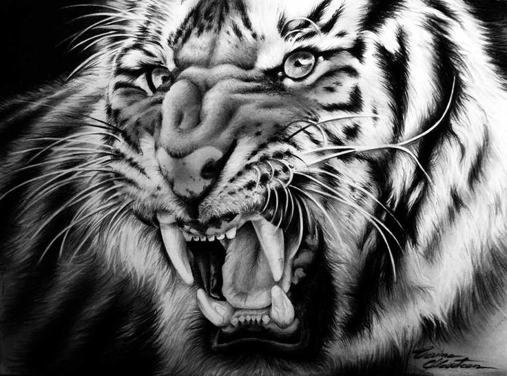Tiger - Fierce - Desen în Creion de Corina Olosutean // Tiger - Fierce - Pencil Drawing by Corina Olosutean