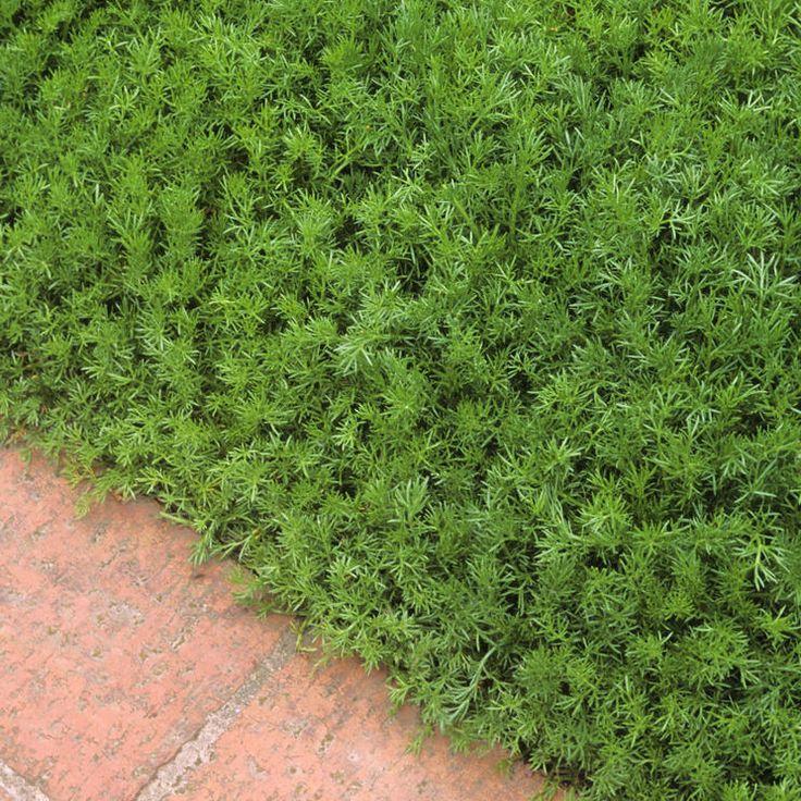 Begehbare Bodendecker Diese Arten sind trittfest   Bodendecker, Garten, Gartenkunst