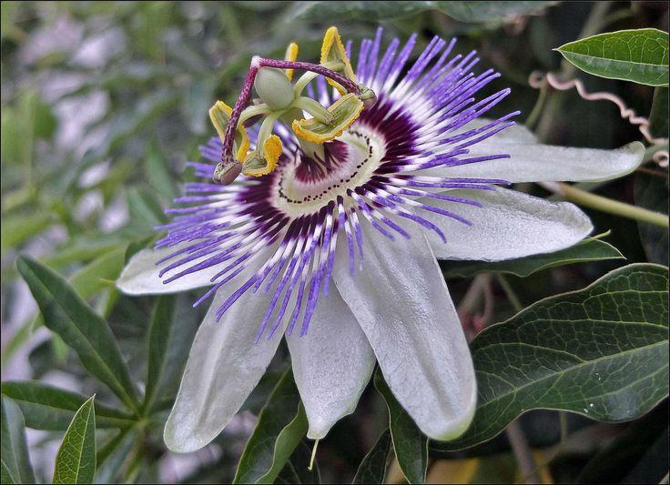 fiore della passione - PASSIFLORA CAERULEA
