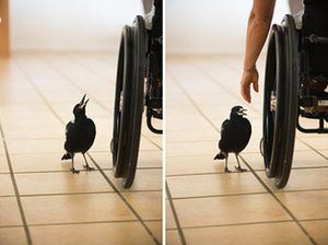 A photo from 'Penguin Bloom' – a book about an injured magpie who lived with a family in Australia