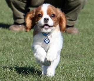 Love the Cavalier King Charles Spaniel...: Spaniels Puppies, Spaniel Puppies, Dogs, Pet, Google Search, Puppys, Cavalier King Charles, Animal, King Charles Spaniels