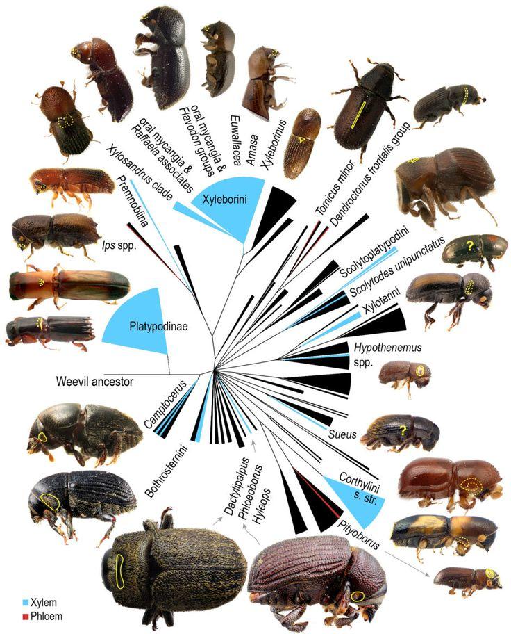 Classification | Ambrosia Symbiosis