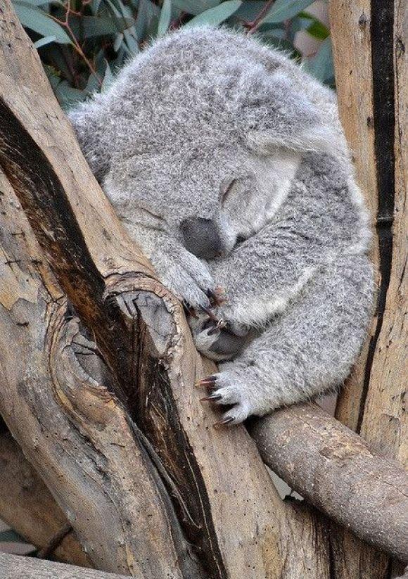 Cute baby koala - photo#4