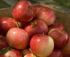 KinderKrisp Apple- stark brothers, good for eating apple, small size, zone 3-7