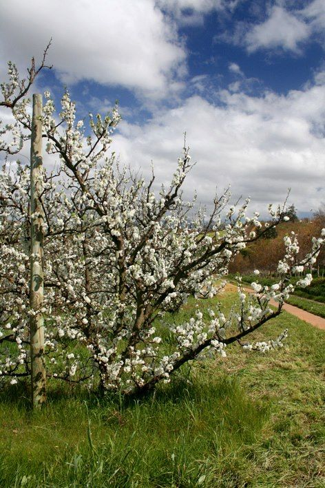 Blossoming plum trees at HRE