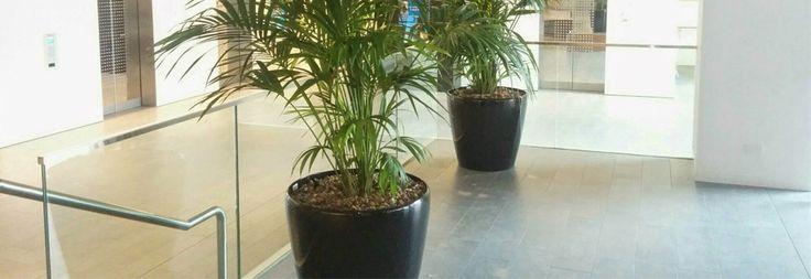 Rhapis Palm , Lady Palm - best med. light plants. Get Rhapis Palm now.