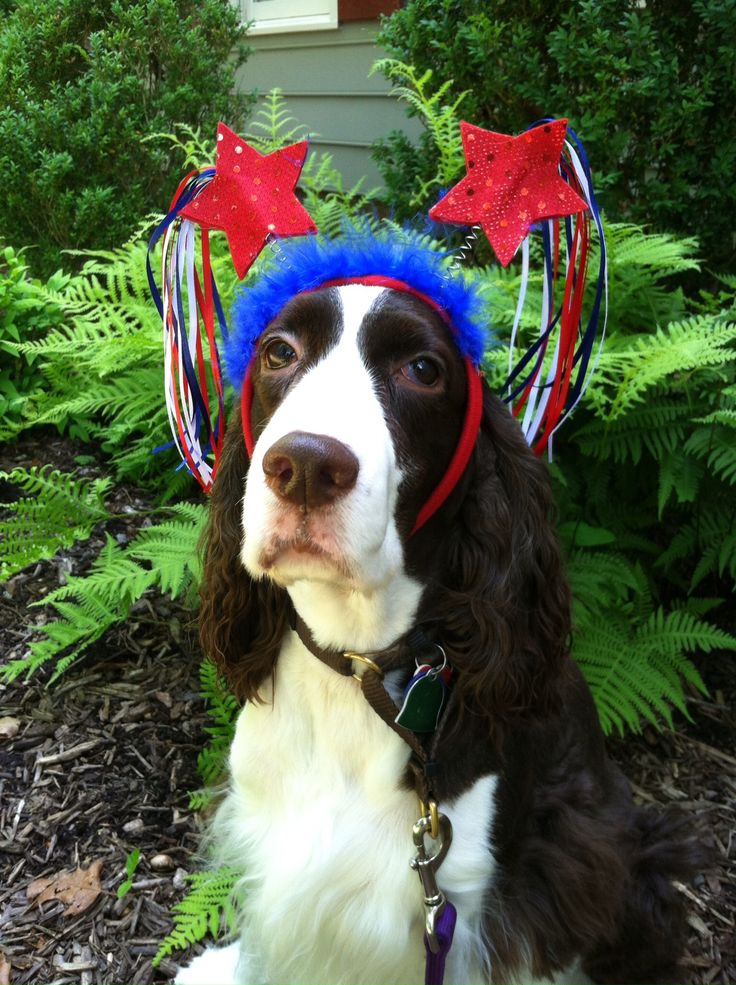 175 Best Images About Springer Spaniels Amp Friends On