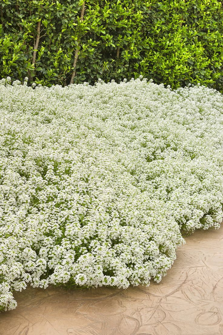 Snow Princess Lobularia is not your grandma's Sweet Alyssum! This plant will provide large pillows of white all season, with incredible vigor plus heat and drought toleramce. What is unusual is that it also withstands cool temps very well too, causing it to last in your garden through several frosts. Wonderful in containers on its own or in the landscape.