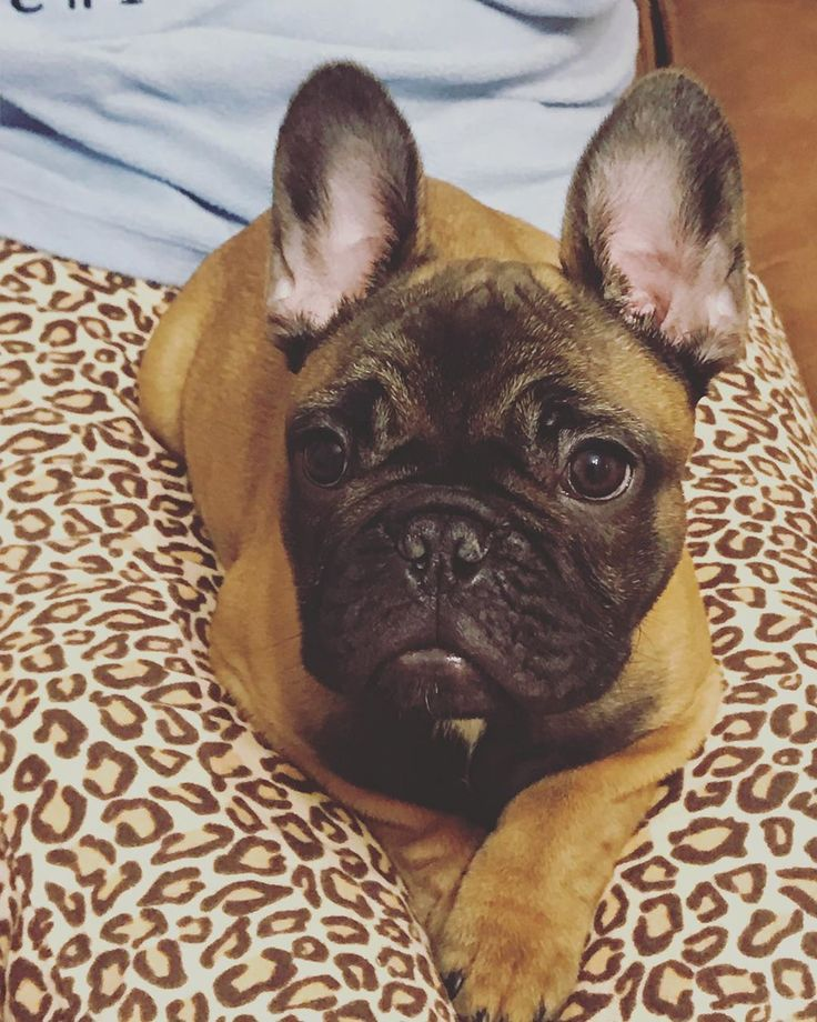 French Bulldog Dog Breed – The Good, the Bad, the Snorty