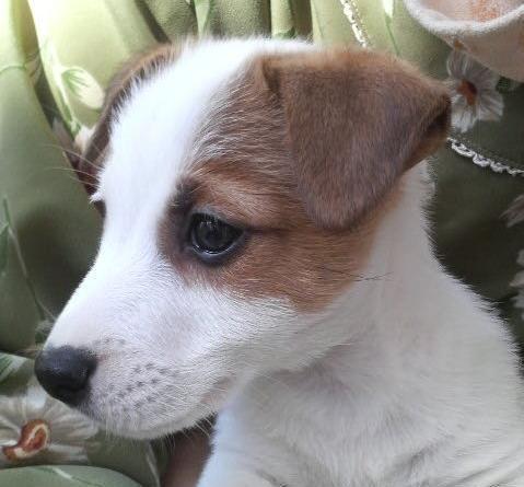【里親決定】3月12日(火)「乱繁殖によるブリーダー放出犬」静岡県から子犬らしくとても元気で可愛いジャックラッセルテリアの里親募集情報(オス/白茶)GO保護犬GO