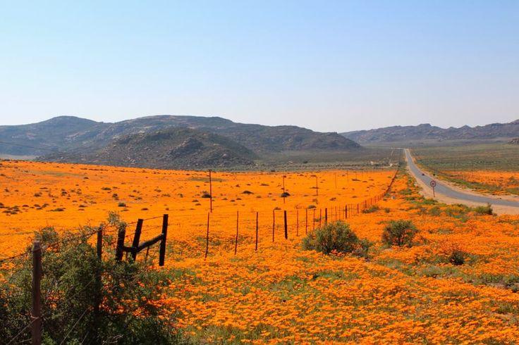 Namakwa in full bloom!!